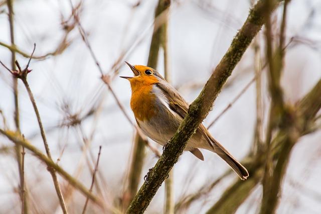 vogel zingen roodborstje lente