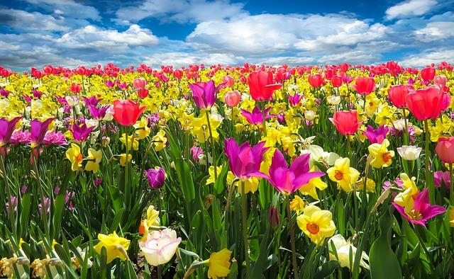 tulpen narcissen bloemen veld lente voorjaar